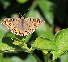 Meadow Argus Butterfly by JLOPhotography