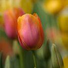 Tulip Colors  Floriade 2013 Canberra Australia  by Kym Bradley