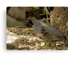 Gambels Quail ~ Male Canvas Print