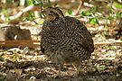 Masked Bobwhite Quail ~ Female by Kimberly Chadwick