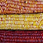 Ears of Indian Maize by Kenneth Keifer