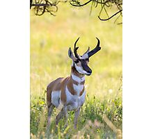 Pronghorn Buck Photographic Print