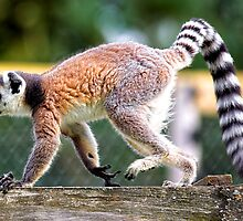 Ring-tailed lemur (Lemur catta) at Longleat Safari Park by Andrew Harker