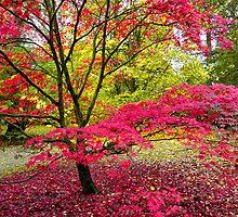 Japanese Maple (Acer Palmatum) at Westonbirt Arboretum, Gloucestershire, UK by Andrew Harker