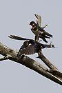 Feeding Swallow Family by Neil Bygrave (NATURELENS)