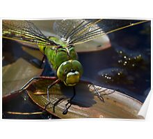 Female Emperor Dragonfly Poster