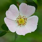 Dog Rose by Neil Bygrave (NATURELENS)