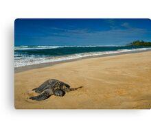 Green Sea Turtle, Oahu Canvas Print