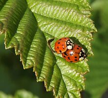 Lady Bugs by TaylorKorynn