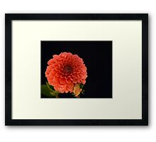 Peach Dahlia Framed Print