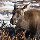 Moose calf in snow by Eivor Kuchta