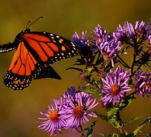 Monarch approaches New England Aster #2 by Kane Slater