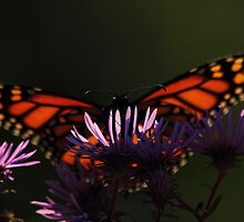 Monarch approaches New England Aster #1 by Kane Slater