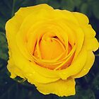 London Yellow Rose by DDabug