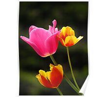 Pink, Orange & Yellow Tulips Poster
