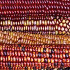 Amazing Indian Maize (Corn) by Kenneth Keifer
