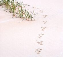 pawprints - South Stradbroke Island Qld Australia by Beth  Wode