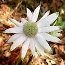 Flannel flower in Oatley Park by Michael Matthews