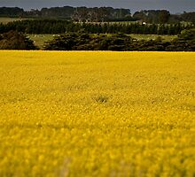 Field of  Gold by Jane  mcainsh