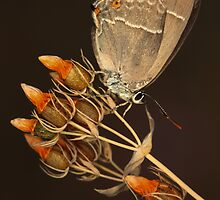 Purple Hairstreak by jimmy hoffman