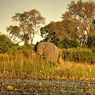 Okavango Elephant by Paul Tait