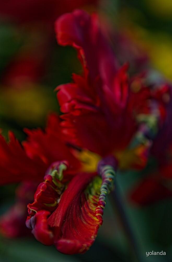 Red Tulip by yolanda