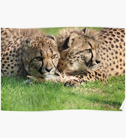watching cheetahs Poster