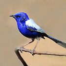 White-winged Fairy-wren taken near Elliott in NT by Alwyn Simple