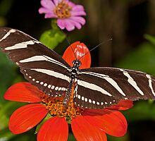 Zebra Longwing Butterfly by JMChown