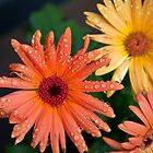 Gerber daisys after a rainy night by KSKphotography