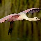 Spoonbill in Flight (as the Sun Sets) by TJ Baccari Photography