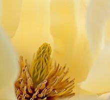 Magnolia by Steven Ralser
