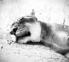 Sleepy Lioness by Stephanie Sherman