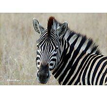 IN PORTRAIT THE BURCHELL'S ZEBRA – Equus burchelli – Bontkwagga Photographic Print