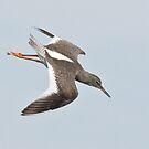 Redshank in Flight by Alan Forder