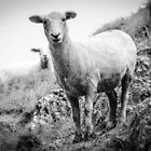 Otway - Sheep by Andrew Dodds