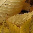 Golden Elm Leaves by Stephen Thomas