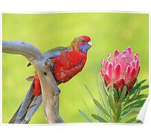 """Crimson Rosella ""  Marlo Vic. Poster"