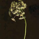 Queen Anne's Lace by Barbara Wyeth