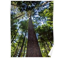 Trees In the Forest - Mt Rainier National Park Poster