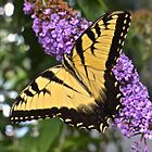 butterfly bush by Nancy Rohrig