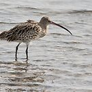 Curlew by Alan Forder