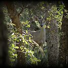 Coues White-tailed Deer (Doe) Sighting by Kimberly Chadwick