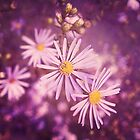 Pretty Asters by afeimages