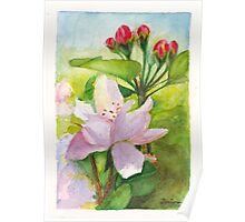 Apple Blossom and Buds Poster