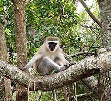 Vervet Monkey by Ludwig Wagner