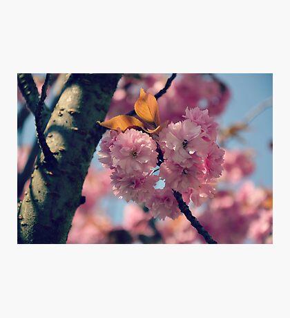 Cheery Cherry Blossoms Photographic Print