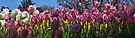 Tulip Row by yolanda