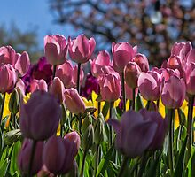Tulip Row by yolanda