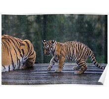 Tiger Cub in the Rain Poster